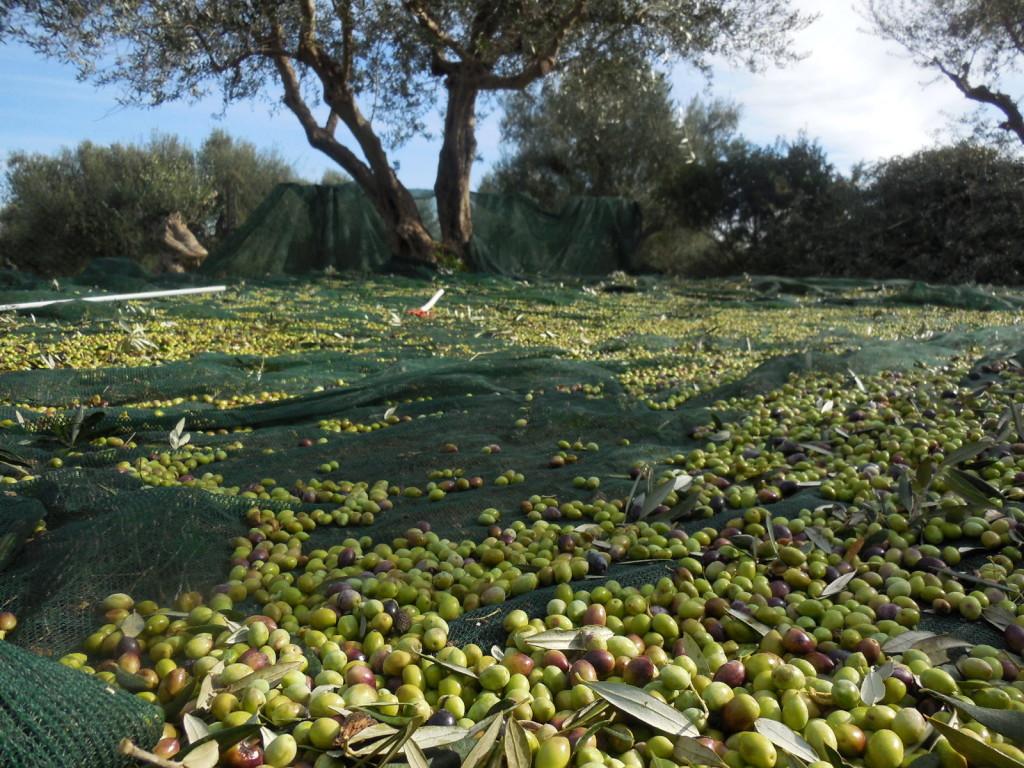 Olivenernte. Netze unter den Bäumen fangen die Oliven auf.