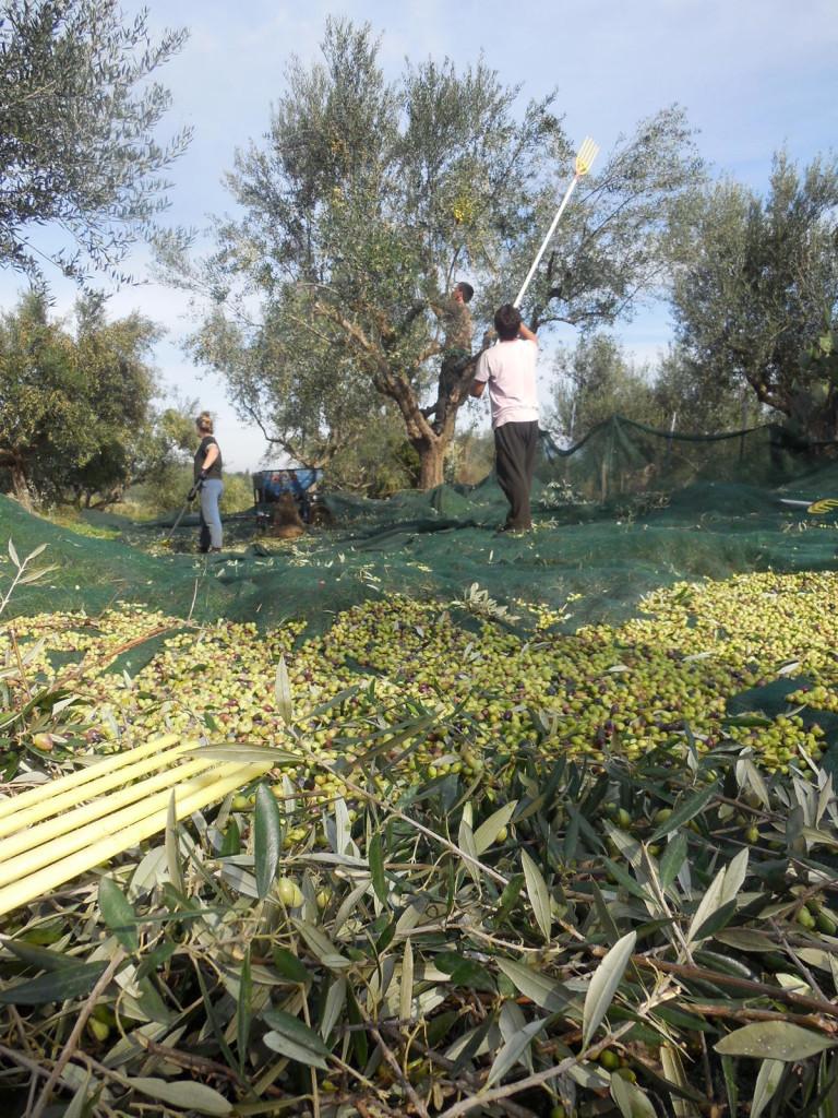 Per Hand mit Rechen und durch Abklopfen werden die Oliven geerntet.